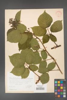 Rubus hirtus [KOR 31363]