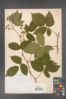 Rubus hirtus [KOR 31278]