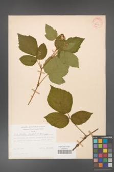 Rubus hirtus [KOR 31350]