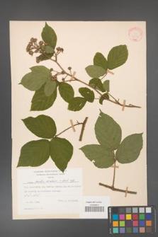 Rubus hirtus [KOR 31330]