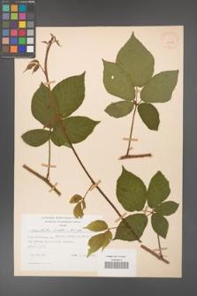 Rubus hirtus [KOR 28013]