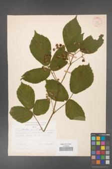 Rubus hirtus [KOR 31242]