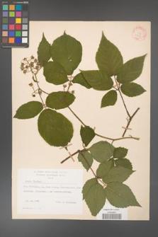 Rubus hirtus [KOR 31328]