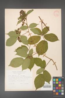 Rubus hirtus [KOR 31228]