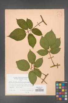 Rubus hirtus [KOR 25723]