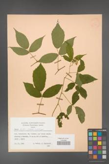 Rubus hirtus [KOR 25720]