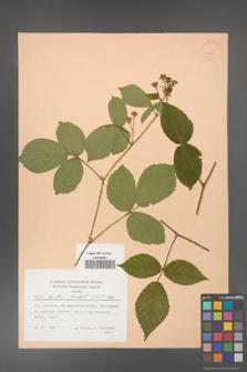 Rubus hirtus [KOR 22852]