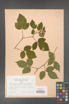 Rubus hirtus [KOR 22838]