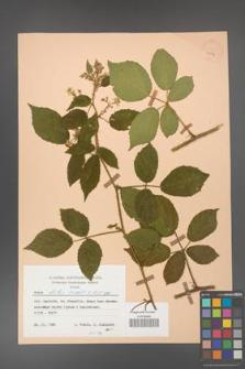 Rubus hirtus [KOR 25577]