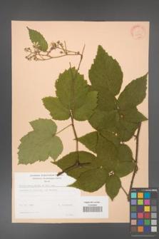 Rubus hirtus [KOR 22957]