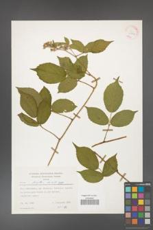 Rubus hirtus [KOR 25542]