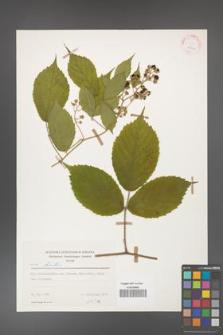 Rubus hirtus [KOR 25546]