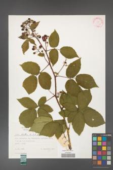 Rubus hirtus [KOR 31316]