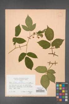 Rubus hirtus [KOR 53995]