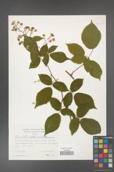 Rubus hirtus [KOR 53994]