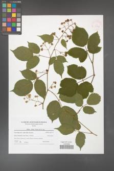 Rubus hirtus [KOR 41132]