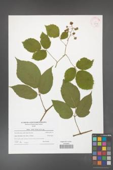 Rubus hirtus [KOR 42134]