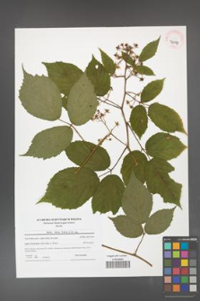 Rubus hirtus [KOR 42059]