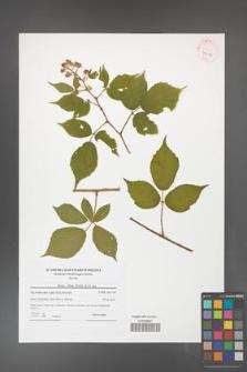 Rubus hirtus [KOR 42066]