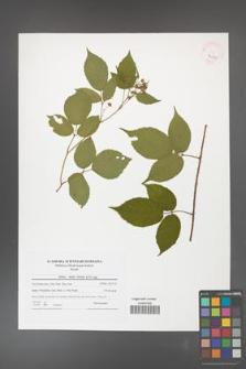 Rubus hirtus [KOR 42139]