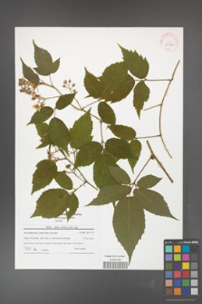 Rubus hirtus [KOR 42163]