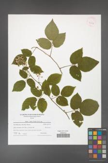 Rubus hirtus [KOR 42162]
