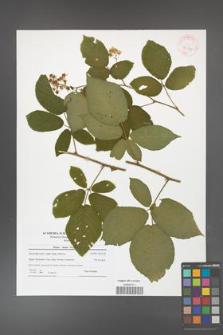 Rubus hirtus [KOR 42159]