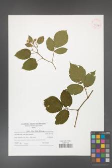 Rubus hirtus [KOR 41536]