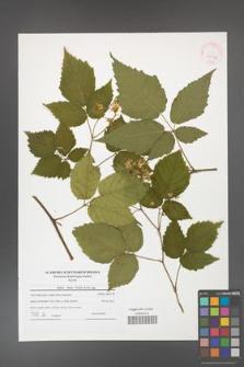 Rubus hirtus [KOR 41534]