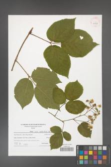 Rubus hirtus [KOR 41528]