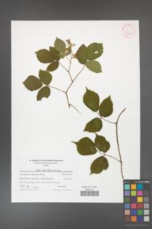 Rubus hirtus [KOR 42181]