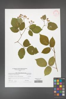 Rubus hirtus [KOR 42182]