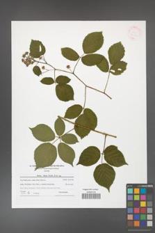 Rubus hirtus [KOR 42183]