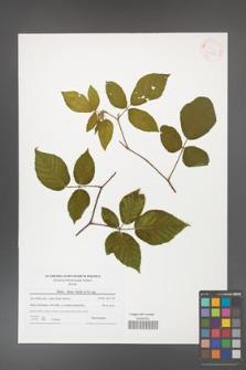 Rubus hirtus [KOR 41548]