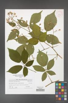 Rubus hirtus [KOR 42031]