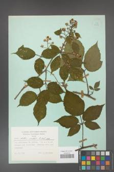 Rubus hirtus [KOR 23863]