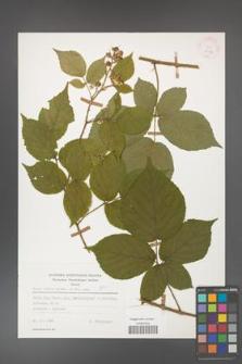 Rubus hirtus [KOR 25589]