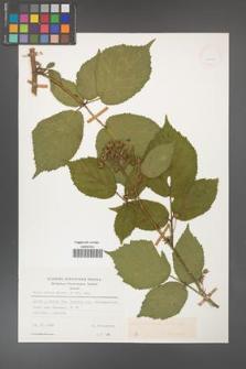 Rubus hirtus [KOR 24955]