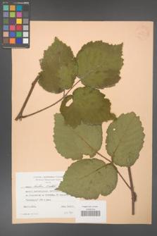 Rubus hirtus [KOR 24351]