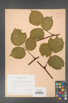 Rubus hirtus [KOR 24358]