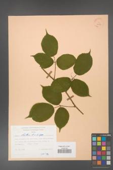 Rubus hirtus [KOR 25553]