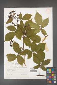 Rubus hirtus [KOR 31334]