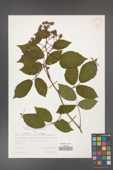 Rubus hirtus [KOR 24874]