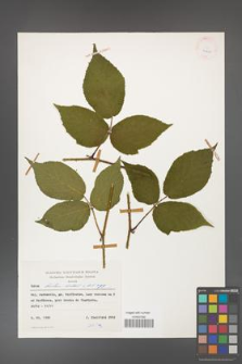 Rubus hirtus [KOR 24880]
