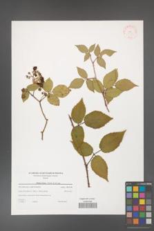 Rubus hirtus [KOR 38778]
