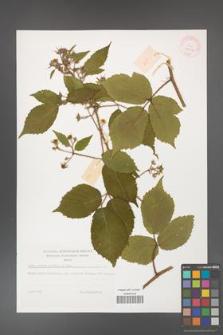 Rubus hirtus [KOR 32297]