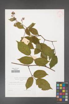 Rubus hirtus [KOR 32263]