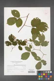 Rubus hirtus [KOR 39614]