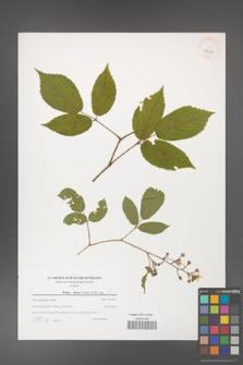Rubus hirtus [KOR 39615]