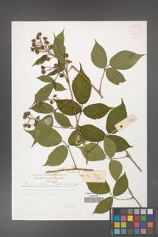 Rubus hirtus [KOR 29503]